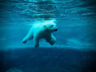 Polar Bear swimming in the water