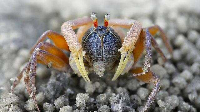 macro photo of a small spider crab on the beach, a crustacean with six legs, two red eyes, and two claws for defense, its doing balls with the sand near the sea on an island, Thailand