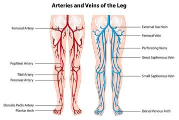 Papiers peints Jeunes enfants Arteries and veins of the leg