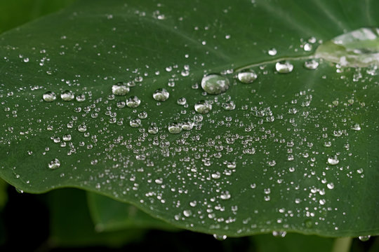 Hydrophobic, Water repellent leaf of a beautiful Elephant Ear plant - Closeup photo showing morning dew or tiny water droplets in rainy season assembled on waxy leaf surface like tiny spherical pearls