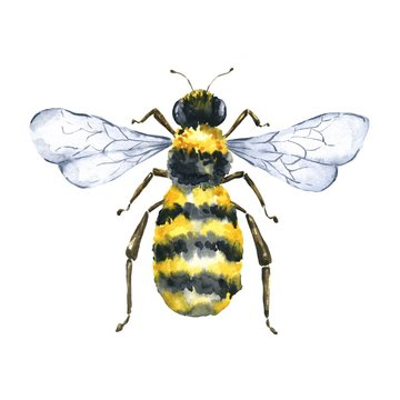 Watercolor bee top view isolated on white background. Watercolour insect illustration.