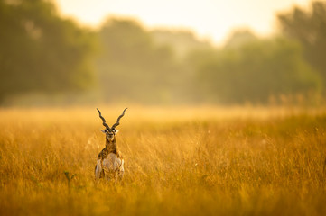 Big horned wild male blackbuck or antilope cervicapra or Indian antelope in early morning golden hour light at grass field landscape of blackbuck or velavadar national park gujrat india