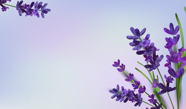 Background of violet bouquets lavender on a purple background. Banner with lavender flowers for perfumery, health products, wedding invitation. Vector illustrations