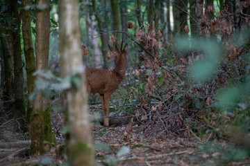 Selective focus shot of a roe deer in the forest