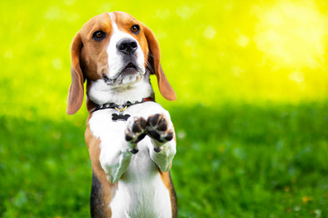 Portrait of a serious dog of the beagle breed, performs commands on the green grass. Funny hunting foxhound in the park