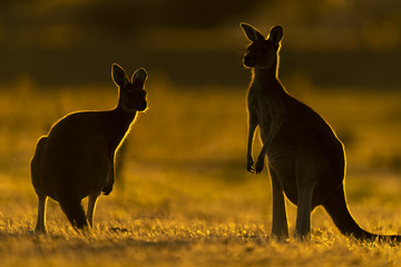 Foto op Aluminium Kangoeroe Western Grey Kangaroo
