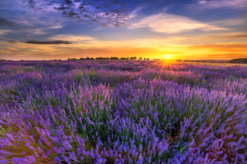 Beautiful lavender field sunset landscape