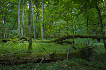Fallen trees in dense untouched primeval forest, Bialowieza, Poland