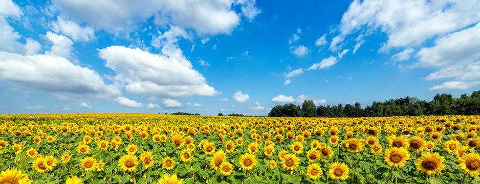 Beautiful day over sunflowers field - panorama shot