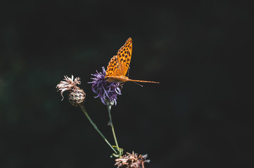 Orange butterfly on purple thistle. Butterfly close up.