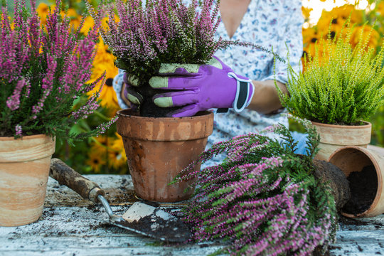 The woman planting autumn heathers in the pots.