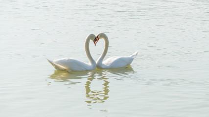 White swan swimming in a lake.