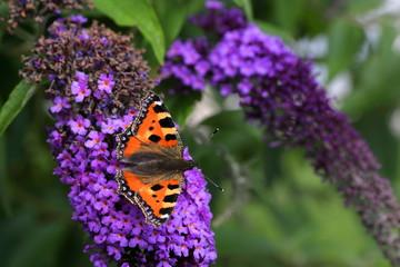 Piękny motyl na kwiecie Budlei kwitnącym latem w ogrodzie botanicznym