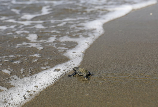 A newly hatched baby sea turtle makes its way into the Mediterranean Sea for the first time, on a beach in Pervolia