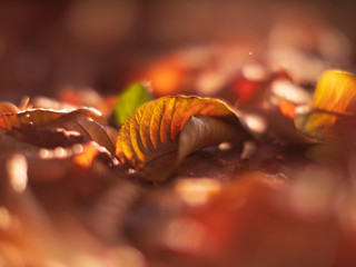 Wall Mural - Fallen autumn leaves background. Closeup on yellow leaf. Shallow DOF.