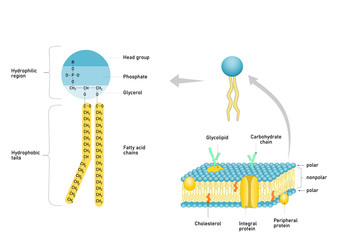 Phospholipid molecule with fatty acid chains and polar head. Structure of cell membrane.