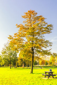 Solitaire hornbeam, Carpinus betulus, with tree leaf in autumn colors against clear blue sky