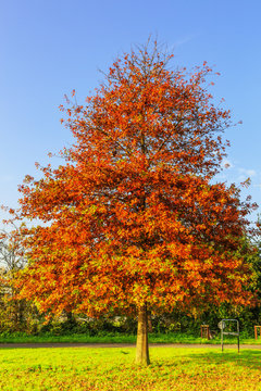 Solitaire Pin oak, Quercus palustris, with tree leaf in autumn colors against clear blue sky at sunrise