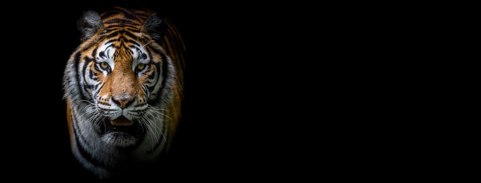 Template of a tiger with a black background