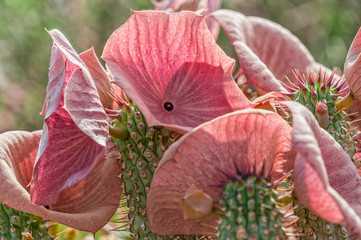 Close-up of Hoodia gordonii, a medicinal plant, in flower
