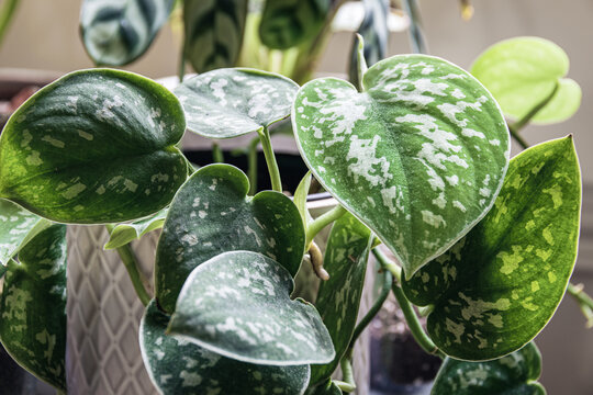 Satin pothos (scindapsus pictus) houseplant in a white pot on a window sill. Vines of an attractive houseplant with silvery blotches on the leaves.