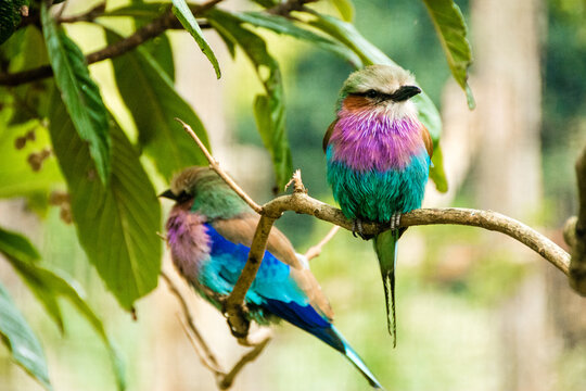 Colourful lilac breasted roller bird of paradise