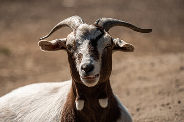 close up of a cute goat with brown and white fur resting under the sun while grinding its teeth