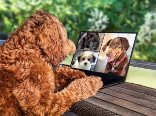 Back view of dog talking to dog friends in video conference. Group of dogs having an online meeting in video call using a laptop. A Labradoodle sitting on a patio table with soft nature background.