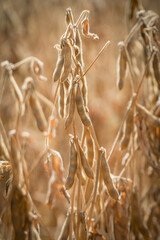 Ripe soybeans ready for harvesting on a farmer's field.