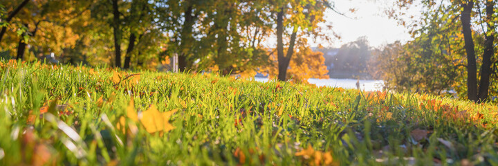 fallen yellow leaves among green grass, autumn bright sun on a background