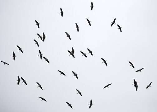 A flock of storks flies over the city of Minsk