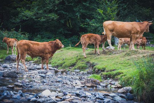vacas cruzando rio de montaña