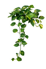 Wall Mural - Heart shaped green variegated leave hanging vine plant bush of devil's ivy or golden pothos (Epipremnum aureum) popular foliage tropical houseplant isolated on white with clipping path.