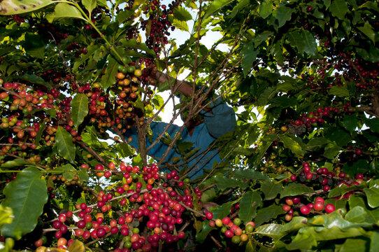 Colheita de café - variedade Mundo Novo