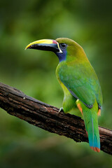 Wall Mural - Blue-throated Toucanet, Aulacorhynchus caeruleogularis, green toucan in the nature habitat, mountains in Costa Rica. Wildlife scene from tropic forest. Green bird sitting on the branch.