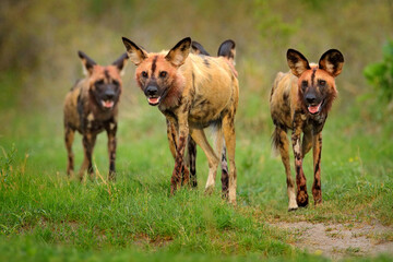 Wild dog, pack walking in the forest, Okavango detla, Botswana in Africa. Dangerous spotted animal with big ears. Hunting painted dog on African safari. Wildlife scene from nature, painted wolfs. Papier Peint