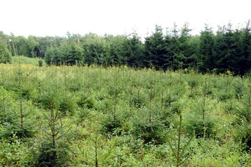 Fototapeta młody las choinek posadzony niedawno obraz