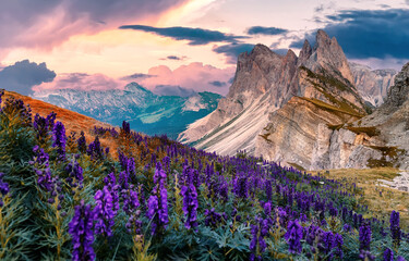 Fantastic morning scenery. Summer sunrise in Italian Dolomiti Alps. Dramatic overcast sky over the Mountain. rocky peak and blossoming lupine flowers on foreground. Amazing nature landscape background