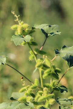 Xanthium strumarium plant with prickly maturing fruits