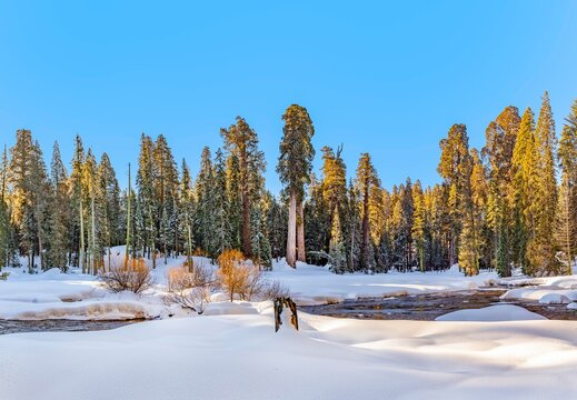 winter landscape with sequoia trees in the sequoia tree national park