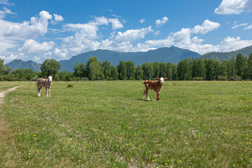 Two cute cows standing upright together in a green meadow under a cloudy blue sky and a faraway straight horizon.