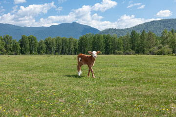 Cute calf standing upright together in a green meadow under a cloudy blue sky and a faraway straight horizon.