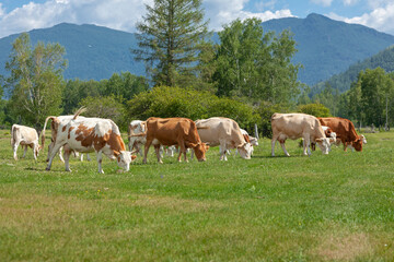 alps, animal, background, blue, brown, bull, calf, cattle, clouds, country, countryside, cow, cows, cute, ecology, europe, farm, farming, fauna, feeding, field, forest, grass, grassland, grazing, hill