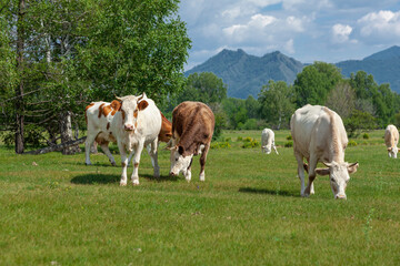 A group of orange and white cows standing upright together in a green meadow under a cloudy blue sky and a faraway straight horizon.