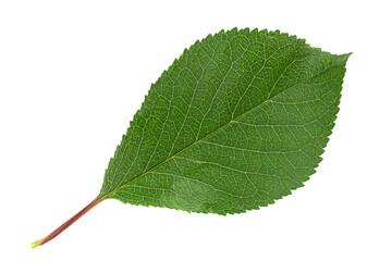 Photo sur Plexiglas Fleur Cherry leaf closeup