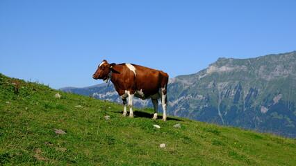 Swiss cow grazing on alpine meadow, Axalp, Switzerland
