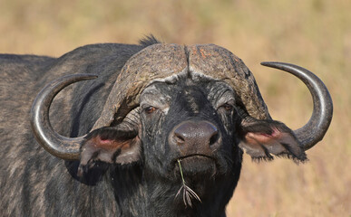 Face to face with an African buffalo or Cape buffalo (Syncerus caffer)