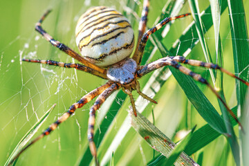 Macro picture of an european wasp spider