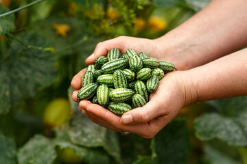 cucamelon, Melothria scabra or mousemelon, mexican fruit freshly harvested in farmer's hand in summer kitchen garden