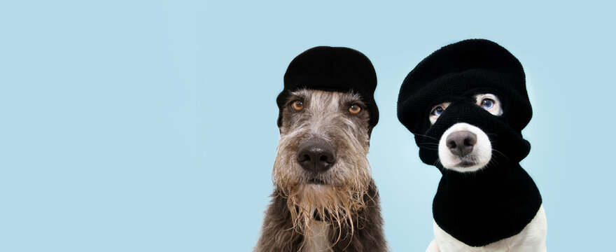 Banner funny two pets dog robbers wearing balaclava ski mask. Isolated blue background. Carnival or halloween concept.